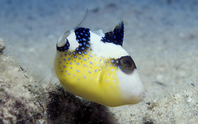 Blue triggerfish, juv.